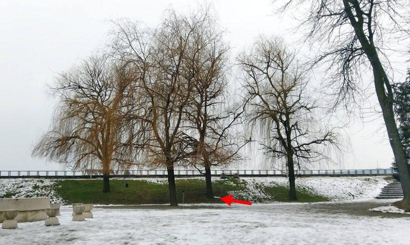Salcie (02) – Parcul Central din Târgu Jiu