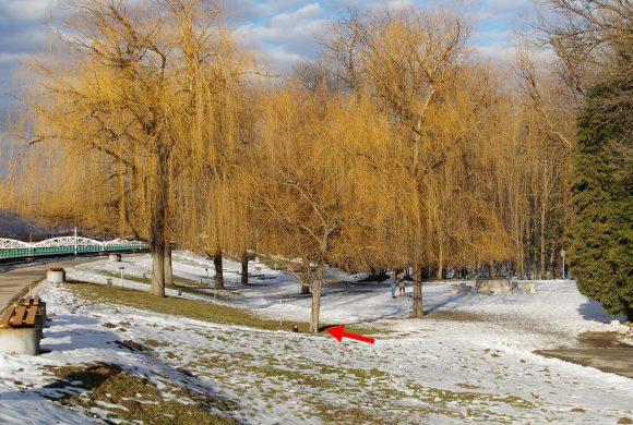 Salcie (07) – Parcul Central din Târgu Jiu
